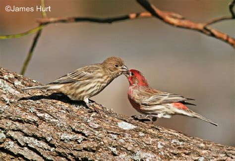 house finch facts tennessee watchable wildlife house finch habitat