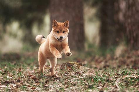shiba inu puppy rescue shiba inu puppies dogtime
