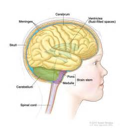 showing the brain stem