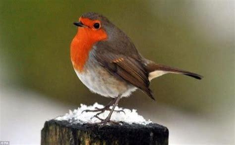 british robin redbreast england s national bird love