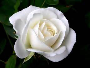 single white roses rose wallpapers