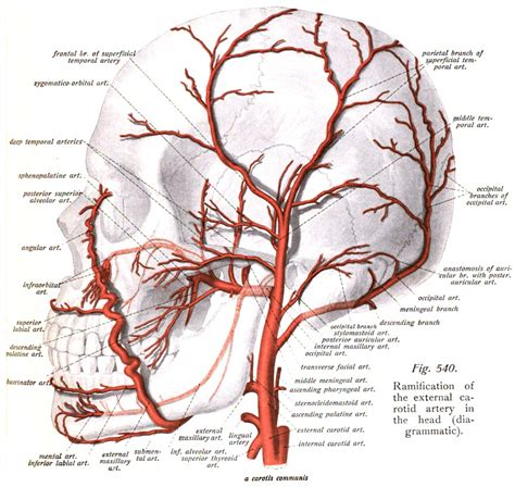 diagram of the arteries temporal arteries