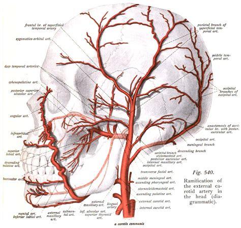 diagram of arteries temporal arteries
