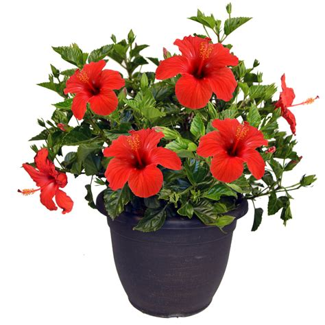 Hibiscus In Planters by Shop Mixed Hibiscus Shrub L3026 At Lowes