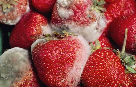 fruit molds ucr today how an aggressive fungal pathogen causes mold