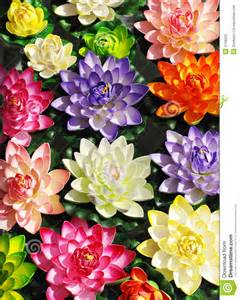 Colour Lotus Colorful Lotus Flowers Royalty Free Stock Photo Image