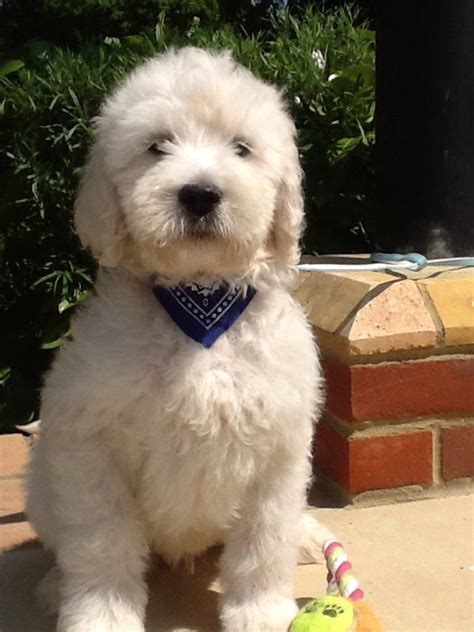 labradoodles puppies for sale west sussex labradoodle puppies chichester west sussex pets4homes