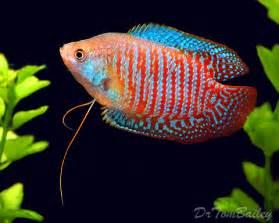 gourami for sale aquariumfish net