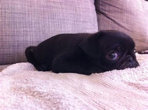 baby pug black baby black pug pugs to be cas and pug