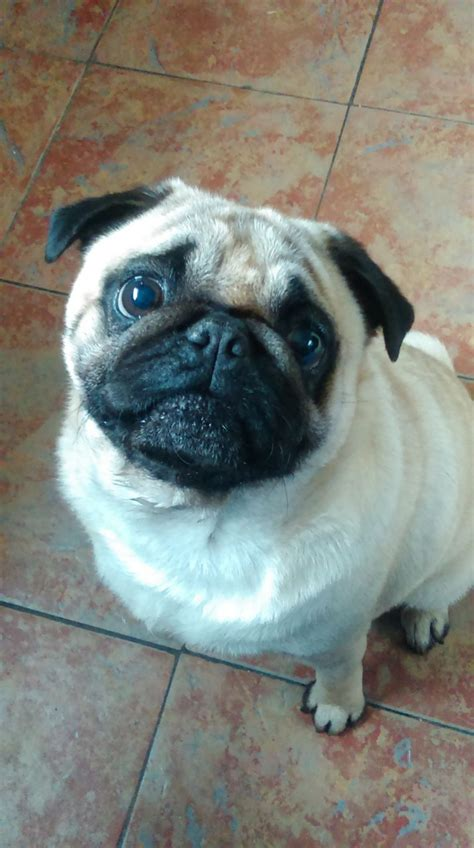 sheffield pugs 3 year pug for sale sheffield south pets4homes