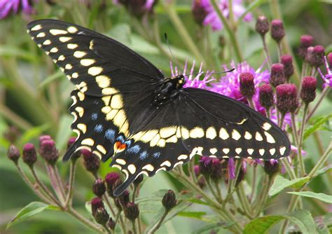 Black Swallowtail Butterfly | how to use fennel or dill to keep caterpillars off your