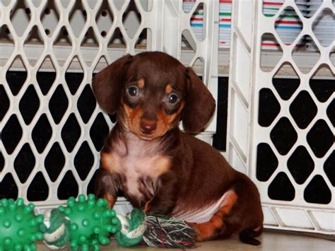 dachshund puppies for adoption in ga dachshund puppies atlanta dogs in our photo