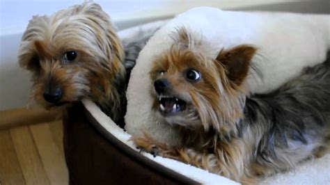 www yorkies two yorkies to one bed
