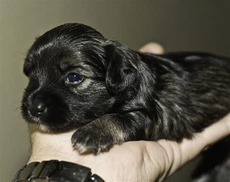 pictures of black yorkies black yorkie puppy jpg