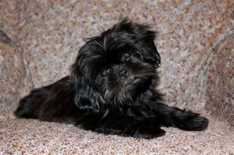 black shih tzu puppies stunning black shih tzu puppy batley west pets4homes