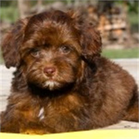 yorkie poo personality traits yorkie poo puppies rescue pictures information temperament characteristics