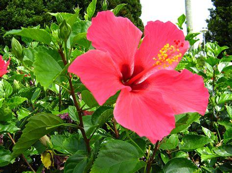 pengusaha pembekal anak pokok bunga raya hibiscus