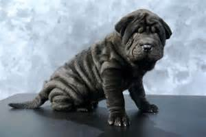 Shar pei dog pictures gallery