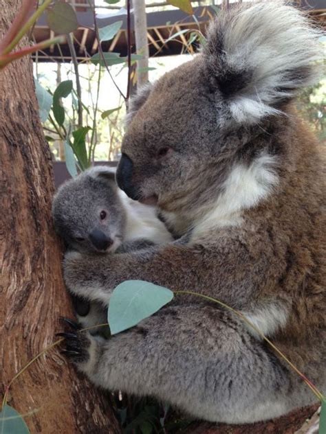 female koala pouch 49 best images about lions and tigers and bears oh my