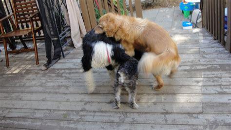 femme saute par chien le chevauchement la meute domestique