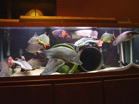 Tropical Home Decorations by 11 Feshwater Fish Beginning Fishkeepers Should Avoid