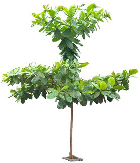 imagenes png vegetacion 20 im 225 genes de 225 rbol png terminaliacattapa05l tree