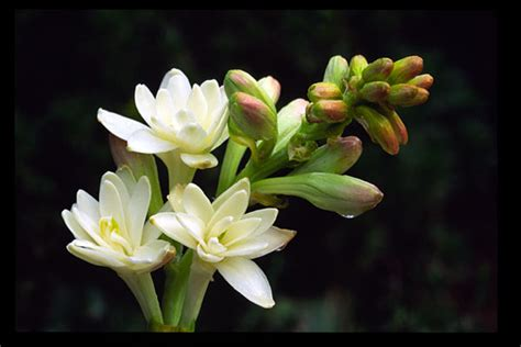 wallpaper bunga sedap malam bunga sedap malam komunitas pecinta pengobatan alami