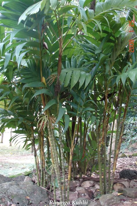 Wholesale Fruit Trees - polynesian produce stand big pinanga palm tree mottled leaf rainforest 30 48