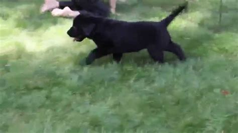 golden retriever mix puppies for sale nc golden retriever rottweiler mix puppies for sale photo