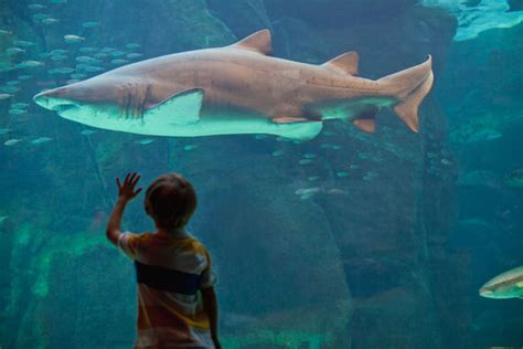 Small Sharks In Home Aquarium Great White Sharks Cannot Survive In Captivity At An