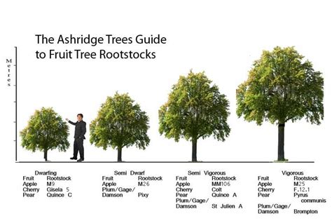 tree varieties comparison apple tree rootstock information