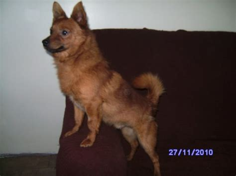 staffy x pomeranian 1 2 year pomeranian cross chihuahua for adoption