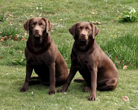 labs dogs chocolate lab pictures