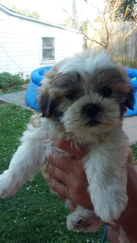 how much should a maltese shih tzu weigh designer and mix puppies morkies maltipoos maltipoos terrier shih