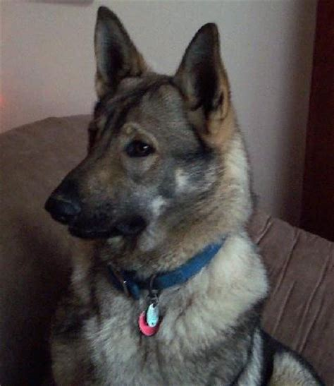 german shepherd wolf mix 17 best images about german shepherd mixes on wolves a wolf and black roses