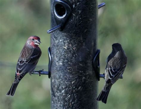 birds that eat at feeders more likely to get sick spread