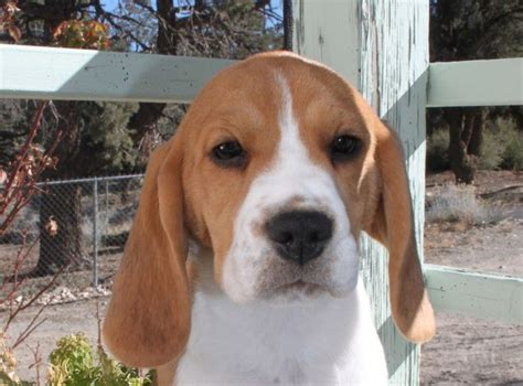 beagle puppies california 25 best ideas about beagle breeders on beagles for sale beagle pups for