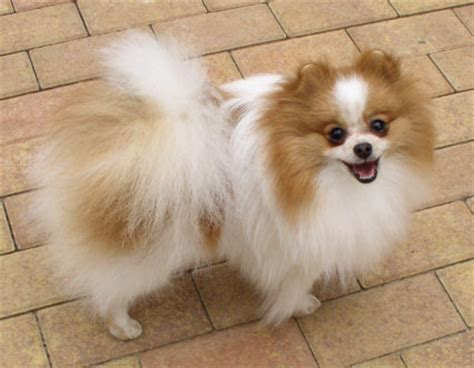 parti colored pomeranians shafran sheeny quot pictures of pomeranian parti color
