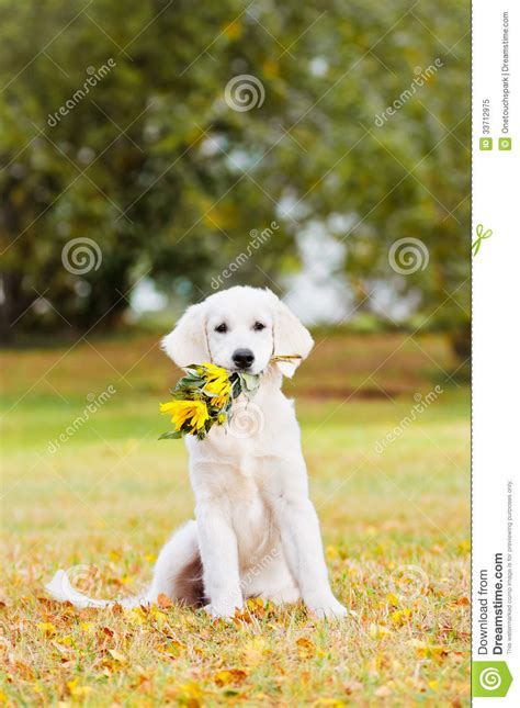 golden retriever flowers golden retriever puppy holding a flower bouquet royalty free stock photo image 33712975
