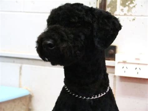 standard poodle grooming styles pictures standard poodle grooming styles poodles pinterest