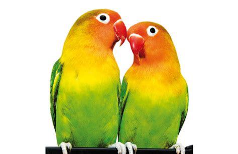 pappagalli inseparabili alimentazione inseparabili