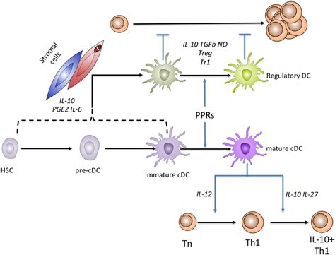 frontiers stromal cell induction of frontiers stromal cell induction of regulatory dendritic