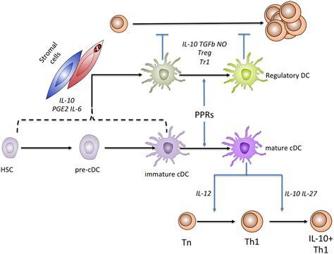 frontiers regulatory dendritic cells for frontiers stromal cell induction of regulatory dendritic