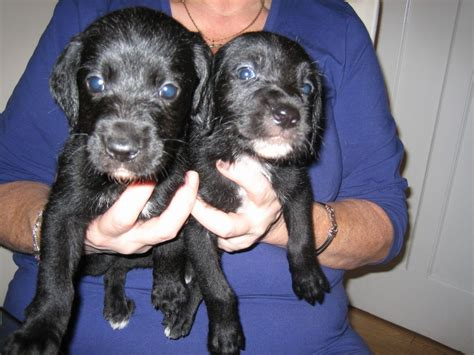 great danoodle puppies for sale great danoodle puppies reduced chesterfield derbyshire pets4homes