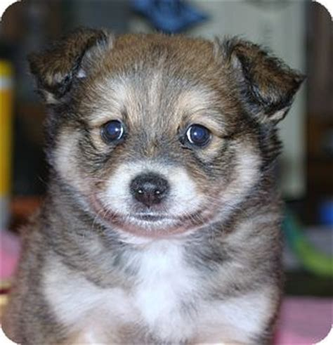 australian shepherd pomeranian mix for adoption matteo adopted puppy santa ca pomeranian australian shepherd mix