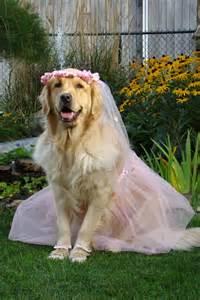 golden retriever dressed up ballerina brie dressed up for golden retrievers pintere