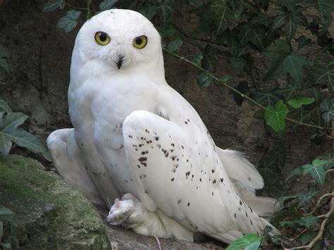 file nyctea scandiaca snowy owl 0a jpg wikimedia commons