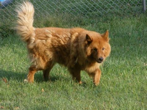 pitbull cross golden retriever 12 golden retriever cross breeds you to see to believe