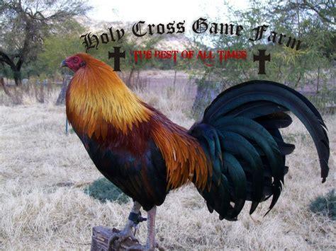 peleas de gallos finos 2015 peleas de gallos de redonda 2015 peleas de gallos de