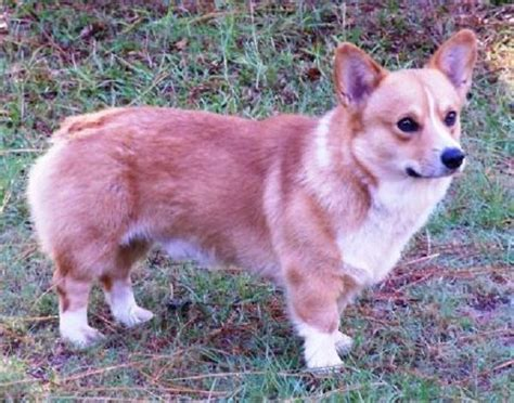 corgi puppies for sale in kansas 1000 ideas about corgi puppies for sale on small dogs best small